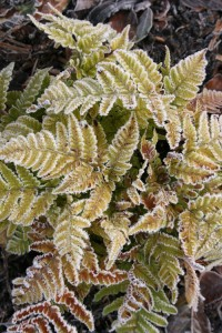 Class 2: Athyrium nipponicum 'Pictum'   (Pear Tree Cottage, Burton in Kendal)