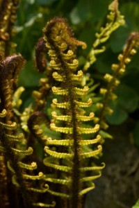 Class 2:	Dryopteris wallichiana (Pear Tree Cottage, Burton in Kendal)