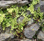 <i>Anogramma leptophylla</i><br> Jersey Fern<br />