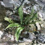 <i>Asplenium marinum</i><br> Sea Spleenwort<br />