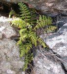 <i>Asplenium obovatum <br>ssp. lanceolatum</i><br> Lanceolate Spleenwort<br />