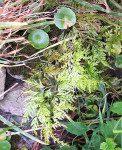 <i>Asplenium onopteris</i><br> Acute-leaved Spleenwort<br />