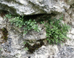<i>Asplenium ruta-muraria</i><br> Wall Rue<br />