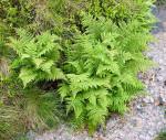 <i>Athyrium distentifolium</i><br> Alpine Lady Fern<br />