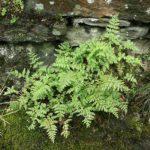 <i>Cystopteris fragilis</i><br> Brittle Bladder Fern<br />