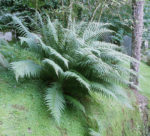 <i>Dryopteris affinis</i><br> Western Scaly Male Fern Fern<br />