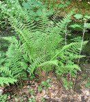 <i>Dryopteris borreri</i><br> Borrer's Scaly Male Fern Fern<br />
