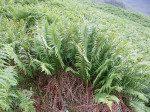 <i>Dryopteris cambrensis</i><br> Narrow Scaly Male Fern Fern<br />