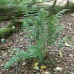 <i>Dryopteris carthusiana</i><br> Narrow Buckler Fern<br />