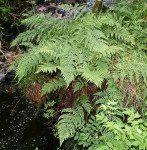 <i>Dryopteris dilatata</i><br> Broad Buckler Fern<br />