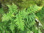 <i>Dryopteris expansa</i><br> Northern Buckler Fern<br />