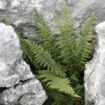 <i>Dryopteris submontana</i><br> Limestone Male Fern<br />