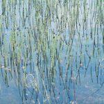 <i>Equisetum fluviatile</i><br> Water Horsetail<br />