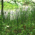 <i>Equisetum hyemale</i><br> Rough Horsetail<br />