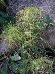 <i>Equisetum pratense</i><br> Shade Horsetail<br />