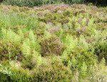 <i>Equisetum sylvaticum</i><br> Wood Horsetail<br />
