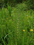 <i>Equisetum telmateia</i><br> Great Horsetail<br />