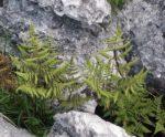 <i>Gymnocarpium robertianum</i><br> Limestone Oak Fern<br />