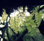 <i>Hymenophyllum tunbrigense</i><br> Tunbridge Filmy Fern<br />