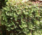 <i>Hymenophyllum wilsonii</i><br> Wilson's Filmy Fern<br />