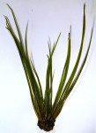 <i>Isoetes echinospora</i><br> Spring Quillwort<br />
