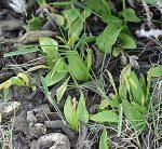 <i>Ophioglossum azoricum</i><br> Small Adderstongue<br />