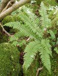 <i>Polystichum aculeatum</i><br> Hard Shield Fern<br />