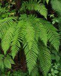 <i>Polystichum setiferum</i><br> Soft Shield Fern<br />