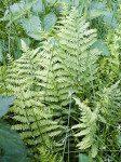 <i>Thelypteris palustris</i><br> Marsh Fern<br />