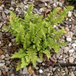 <i>Woodsia ilvensis</i><br> Oblong Woodsia<br />