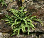 <i>Asplenium trichomanes</i> subsp. <i>quadrivalens</i><br> Common Maidenhair Spleenwort