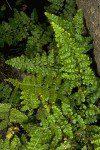 Asplenium obovatum ssp. obovatum