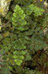 Pleurosorus hispanicus