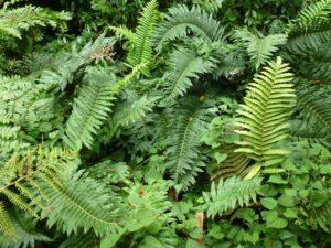 1. Blechnum cordatum, Cornwall 2013