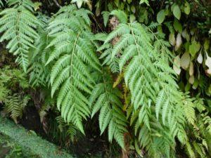 Woodwardia orientalis plant reduced
