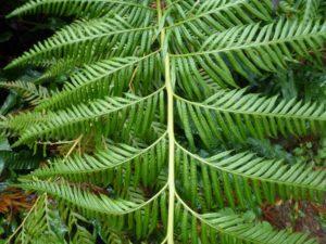 Woodwardia prolifera frond reduced