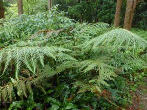 Woodwardia prolifera plant reduced