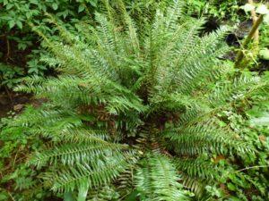 Plagiogyria pycnophylla, reduced