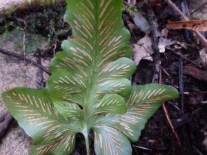 aAsplenium x tagananaense underfrond reduced