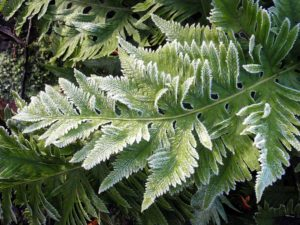 Polypodium cambricum, taken in the garden of Springfield House, Earby, 6th December 2014