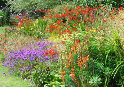 Hidden-Valley-Crocosmias-in