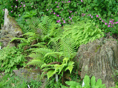 Hidden-Valley-Ferns