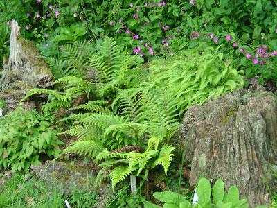 Hidden-Valley-Ferns