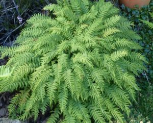 Woodsia caucasica (Syn. W. fragilis