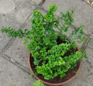 Pot grown 'Trippitt's Crested'