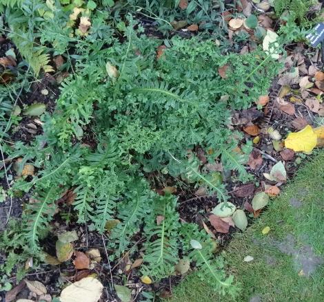 Polypodium cambricum 'Grandiceps Fox' whole plant