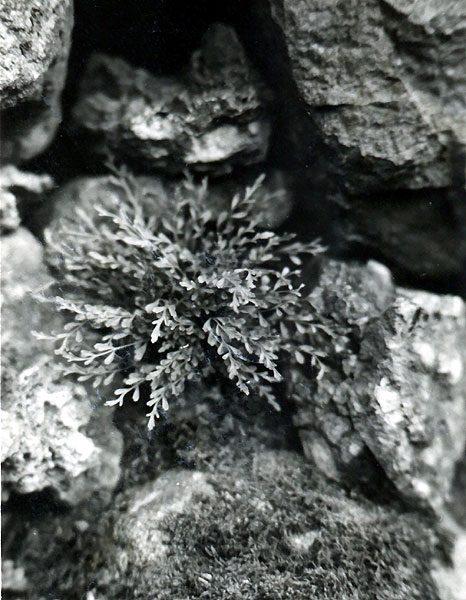 <em>Asplenium x alternifolium</em>