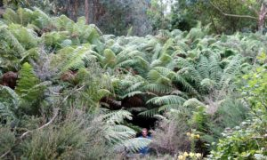 <em>Dicksonia antarctica</em> at Ventnor Botanic Garden