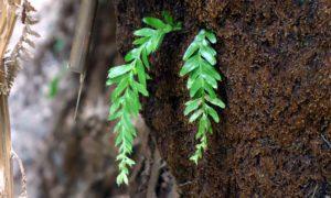 <em>Tmesipteris obliqua</em> growing on a <em>Dicksonia antarctica</em> trunk