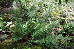 <em>Polystichum aculeatum</em>